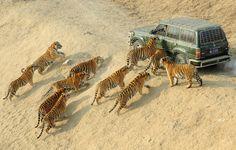 Los tigres siberianos se acercan al coche del cuidador mientras esperan para ser alimentado en el Parque Forestal del tigre siberiano en Harbin, China, el 27 de diciembre de 2011. Más de 800 tigres siberianos viven actualmente en el parque, que es también un centro de cría de esta especie en peligro de extinción, informaron medios locales. (Reuters / Sheng Li)