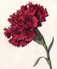 cravos flores
