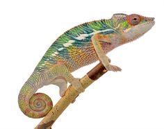 Panther Chameleon - Furcifer pardalis - Ambilobe - Male  One of our babies from Bolt