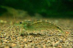 Dwarf Amano Shrimp