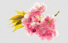 PNG Blossoms of sakura cherry tree by LiliGraphie on Creative Market