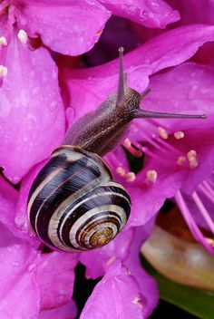 Snail on Rhododendron