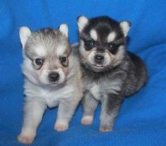 Alaskan Klee Kai puppies for sale in Texas. Dog Lover Gifts, Dog Gifts, Dog Lovers, Alaskan Klee Kai Puppy, Puppies For Sale, Husky, Texas, Dogs, Cute