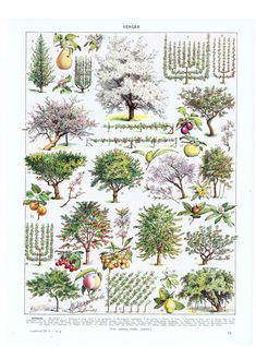 orchard, apple.tree.pear.Antique.French.Book Page.Original.Color plate.Pretty picture.Twenties.Vintage.Home Deco.Birthday Gift.art.boho.rare