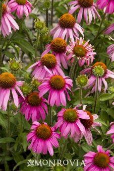 """Purple Coneflower.  24""""-36"""".  June-Aug."""