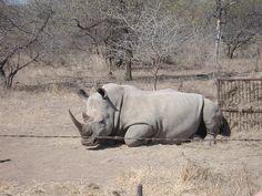 First rhino on the safari trip!