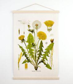 Medium Botanical Dandelion Pull Down Chart Reproduction. Vintage Science Plate Print. Educational Diagram Botany Canvas - CP227CV