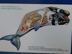 right whale, anatomy, WHOI