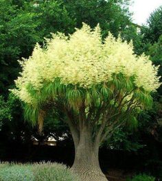 Ponytail Palm Tree nature tropical tree palm exotic Will grow in MS. Trees And Shrubs, Flowering Trees, Trees To Plant, Bonsai Trees, Garden Trees, Garden Planters, Ponytail Palm Tree, The Secret Garden, Unique Trees