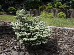 Jodła koreańska Kohouts icebreaker Plants, Plant, Planets
