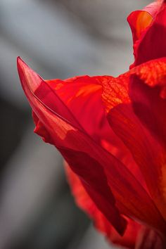 Canna Lily from my garden. Please visit link below for purchases Maria Robinson Imagery Red And Grey, Shades Of Grey, Gray, Red Color, Color Pop, Red River, Color Themes, Mother Nature, Color Mixing