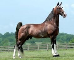 PUSHER ALL COLOR, Tennessee Walking Horses Stallion in Kentucky | Horse For Sale
