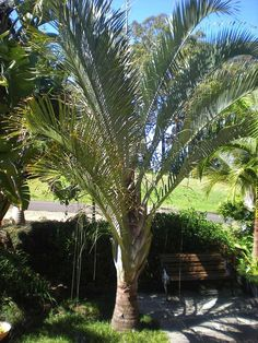Dypsis decaryi (Triangle Palm) - native to the Madagascan rainforest - grows to 11m