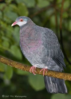 Metallic Pigeon (Columba vitiensis) Green Pigeon, Pigeon Breeds, Wood Pigeon, Turtle Dove, San Diego Zoo, Tropical Forest, Animal Pictures, Horse Pictures, Colorful Birds