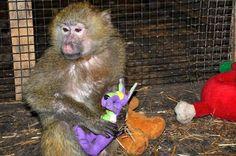 Állatkertek, rehabilitációs központok, ahol a főemlősök gyerekjátékokkal (is) játszanak :: babybaboons
