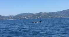Killer Whale spotted off Phuket beach - The Orca was sighted just off Freedom Beach. Photo: Joe Halleron