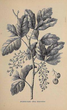 Rhus diversiloba or Toxicodendron diversilobum - western poison oak or Pacific poison oak. Art Nouveau Illustration, Botanical Illustration, Poison Oak, Flower Pictures, Flowers Pics, Vintage Drawing, Botanical Drawings, Line Drawing, Wild Flowers