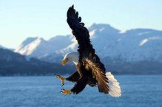 Adler - jetzt bestellen auf kunst-fuer-alle.de