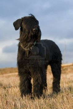 Black Giant Schnauzer on the hill, stock photo.  Blowin' in the breeze...