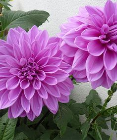 Touch of Eco Lilac Time Dahlia Bulb - Set of 12 | zulily