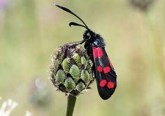 Six spot burnet moth easily mistaken with the cinnabar moth
