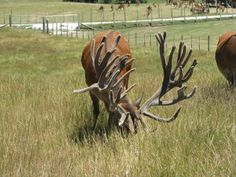 Biggest Elk in the World   Displaying (16) Gallery Images For Biggest Deer Rack In The World...