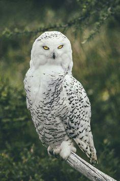 New ideas amazing bird photography snowy owl Beautiful Owl, Animals Beautiful, Cute Animals, Bird Pictures, Nature Pictures, Owl Bird, Pet Birds, Owl Artwork, Owl Photos