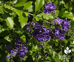 Lovely duranta blooms for months in Central Texas. Beneficial insects love it too! From Central Texas Gardener TV.