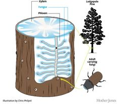 Bark Beetles Are Decimating Our Forests. That Might Actually Be a Good Thing.   Mother Jones