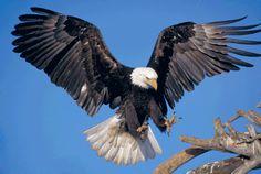 Thank You Beautiful Eagle_eagle. The Eagles, Wings Like Eagles, Bald Eagles, Eagle Wing Tattoos, Eagle Chest Tattoo, Eagle Images, Eagle Pictures, Animals And Pets, Funny Animals