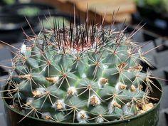 Mammillaria melanocentra - See more at: http://worldofsucculents.com/mammillaria-melanocentra