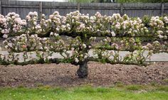 Credit: Claire Higgins/Getty Espaliered apples can be trained against a sunny wall or grown freestanding, supported by a system of wires, li...