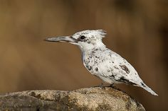 Leucistic Pied Kingfisher. Photo by birdpixella.