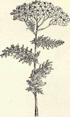 Achillea millefolium   (Yarrow) meaning Healing