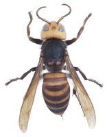 Hornets and yellowjackets are annoying pests.