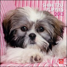 99 Best Shih Tzus Images On Pinterest Shih Tzus Cute Puppies And