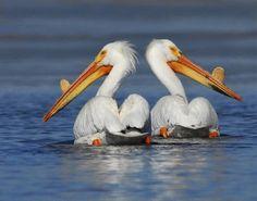Pelicans at Big Lake/Ahjumawi Lava Springs State Park - California in the Sierra Nevada, California.  by Jim Duckworth