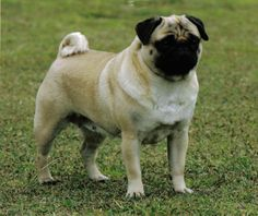Pug family lovin pug pinterest animal dog and fur babies puggy sue has the rare distinction of being a winner in both the breed and thecheapjerseys Image collections
