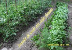 Fasole pastai, conservata pentru iarna Roman, Herbs, Plants, Canning, Herb, Plant, Planets, Medicinal Plants