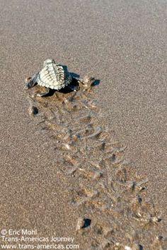 florida sea turtle tracks - Google Search