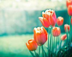 flower photography tulips botanical art print  by mylittlepixels