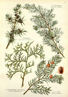 1. Wacholder, juniperus communis 2. Stink(Gift)wacholder, juniperus sabina, 3. Eibe, Taxus baccata 4. Thuja-amerikanischer Lebensbaum, Thuja occidentalis,