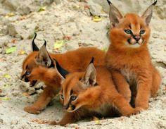 Filhotes de caracal