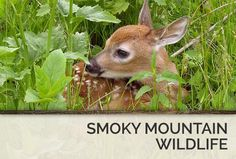 The Smoky Mountains are home to some of the most beautiful animals.