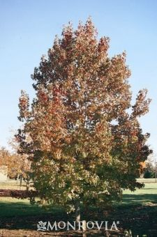 9 Best Shade Tree images in 2016 | Shade trees, Monrovia