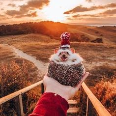 Pokee the Hedgehog IG: lol boost Cute Little Animals, Cute Funny Animals, Cute Dogs, Cute Babies, Beautiful Creatures, Animals Beautiful, Cute Hedgehog, Cute Animal Pictures, Animals And Pets