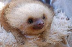baby sloth! I NEED himmmm!