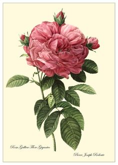 Redoute rose