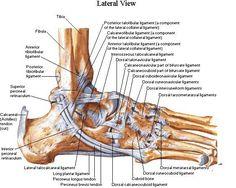 Ankle ligaments - Netter