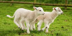 Pics Photos - Lambs Picture